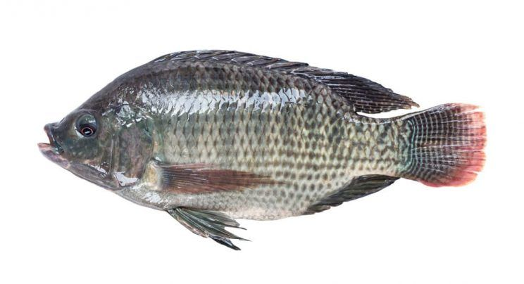 Nile-tilapia-fish-e1463630138385