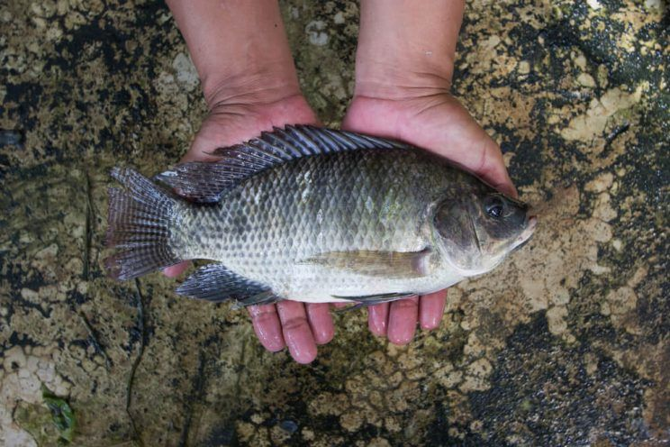 fresh-tilapia-fish-in-persons-hands-e1463630175789