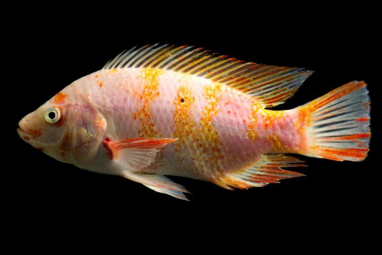 red-tilapia-fish-e1463630095828