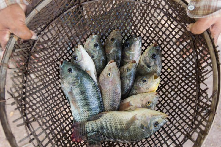 tilapia-fishes-in-hand-of-farmer-e1463630075724
